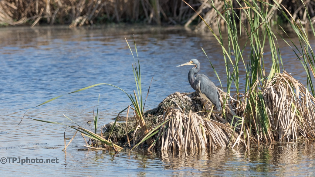 Tricolored Heron, In The Floating Reeds - click to enlarge