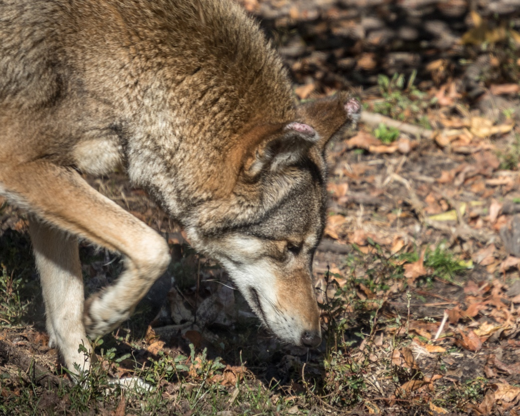 Red Wolf - click to enlarge