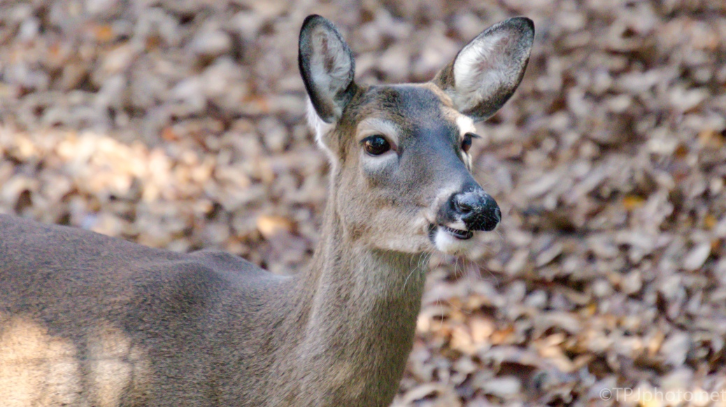 Quick Portrait White-tailed Deer - click to enlarge