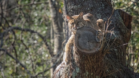 Bobcat Up A Tree - click to enlarge