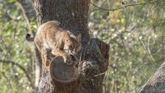 Bobcat - click to enlarge