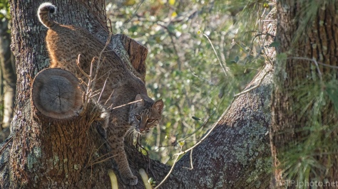 Bobcat, Doesn't Like Cameras - click to enlarge