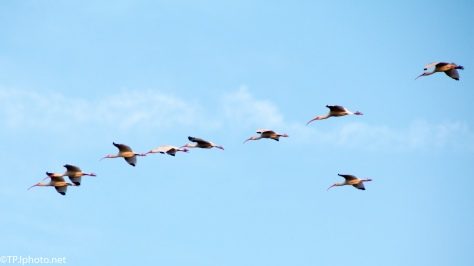 White Ibis, Blue Sky - click to enlarge