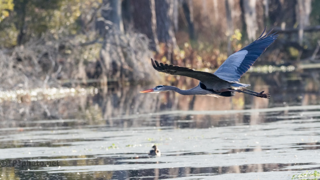 Flying Over A Swamp, Heron - click to enlarge