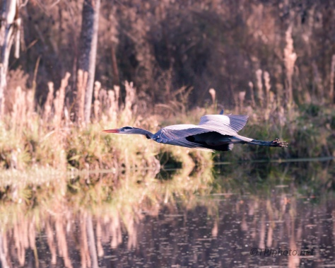 Gliding, Great Blue Heron - click to enlarge