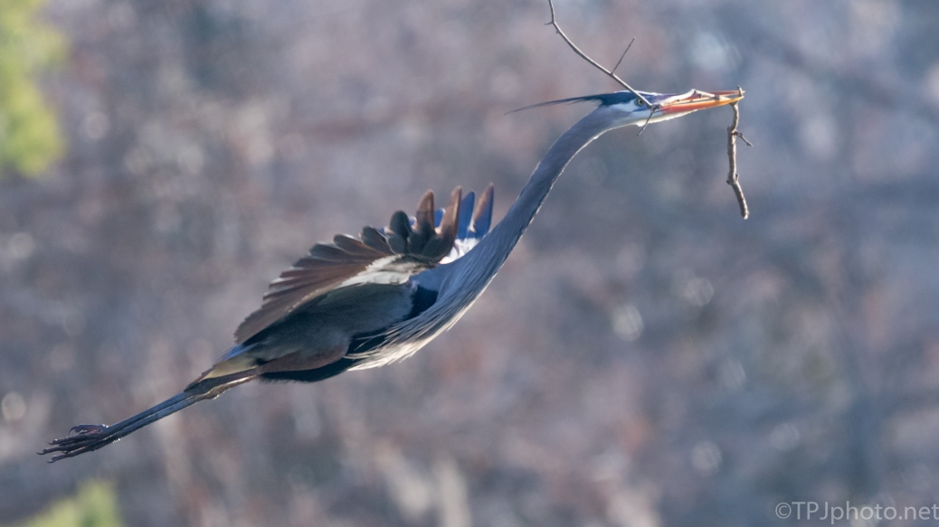 Great Blue Heron Close Landing - click to enlarge