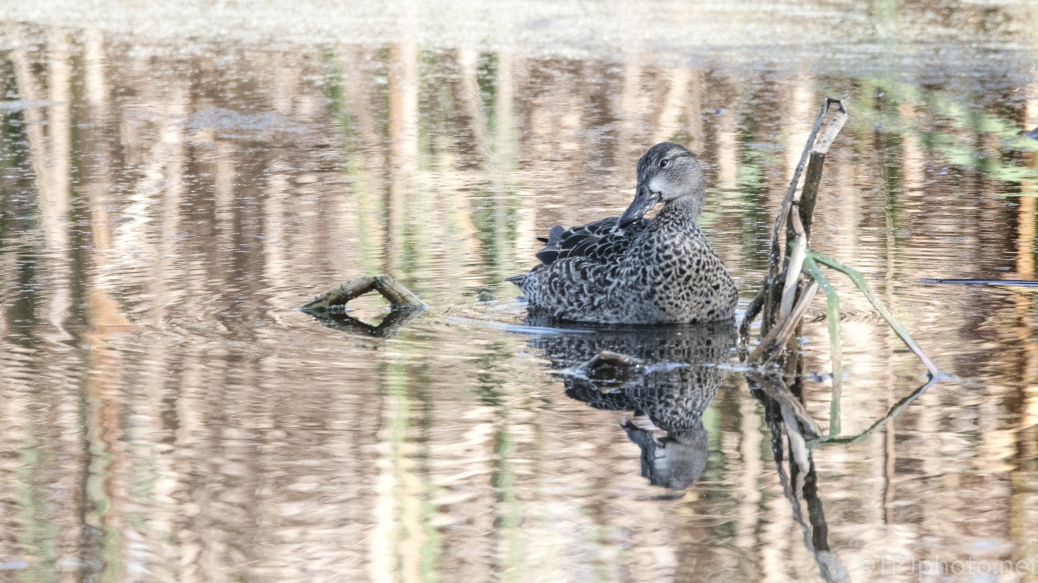 Reflections With A Teal - click to enlarge