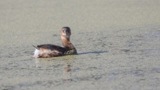 Little Pied-billed Grebe - click to enlarge