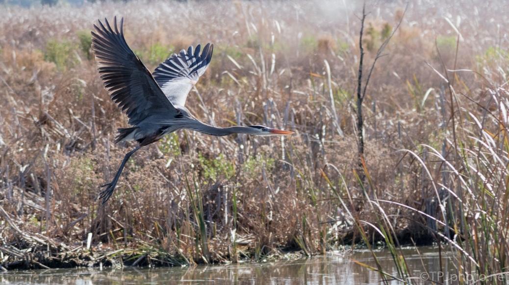 Marsh Flight, Heron - click to enlarge