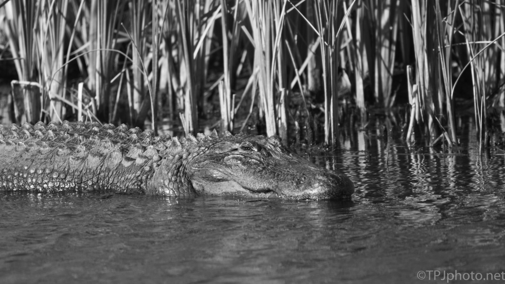 Alligators, Black And White - click to enlarge