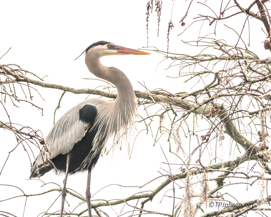 Great Blue Heron Portrait - click to enlarge