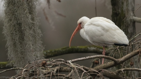 White Ibis In The Moss - click to enlarge