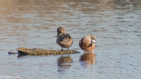 A Series, Blue-winged Teals - click to enlarge