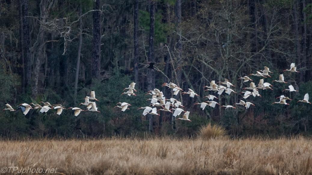 White Ibis Flocking - click to enlarge