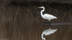 Struttin His Stuff, Great Egret - click to enlarge
