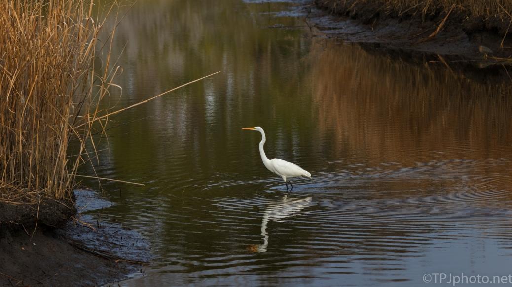 Great Egret, Landscape - click to enlarge