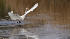 Great Egret, Dancing For Dinner - click to enlarge