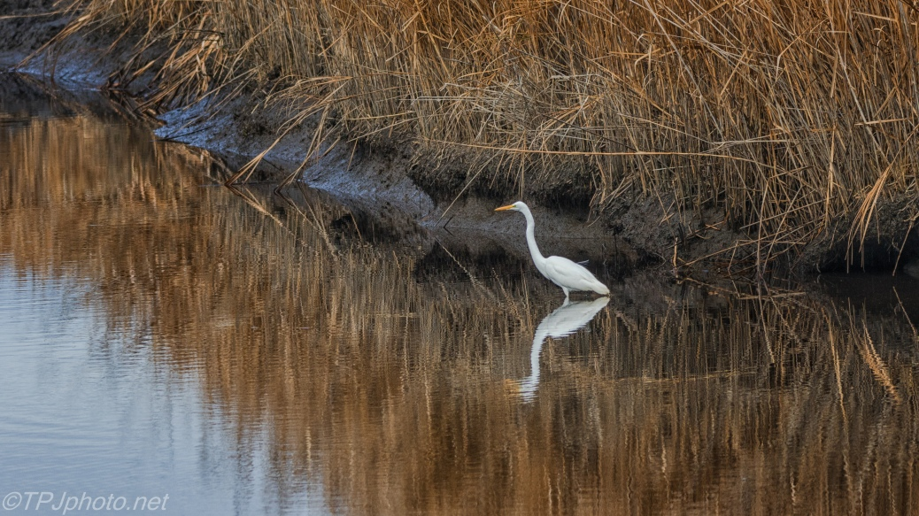 Great Egret, Marsh Edge - click to enlarge