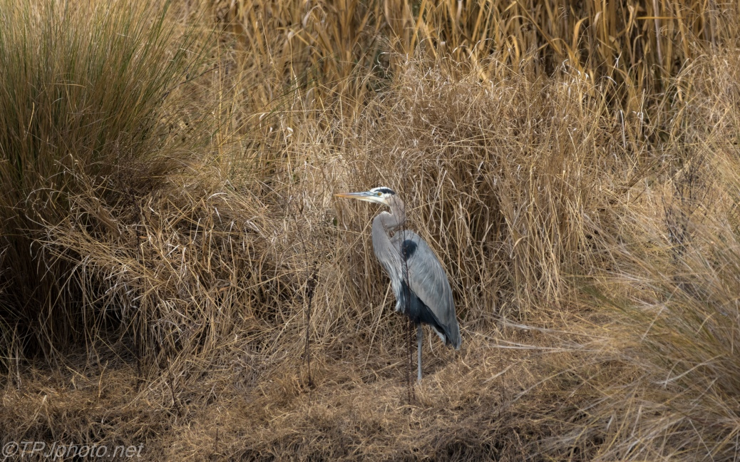 Basic Great Blue / Marsh Photograph - click to enlarge