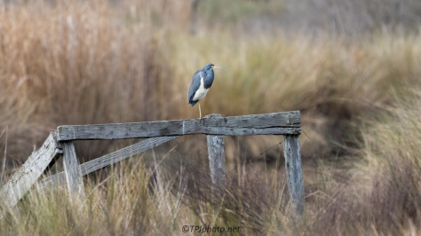 Tricolored Heron, Marsh Ruins - click to enlarge