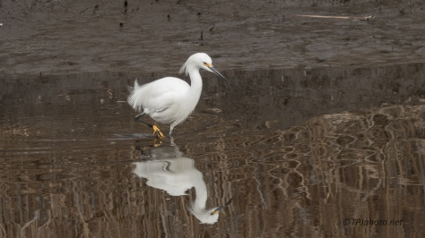 Snowy Egret Attitude - click to enlarge