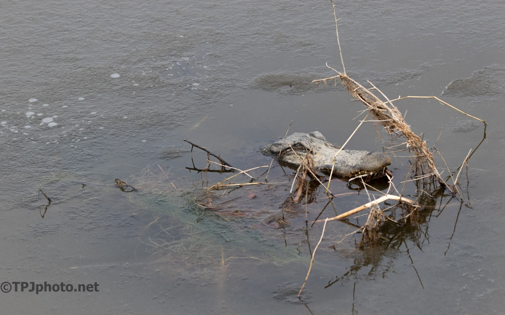 Alligator Breathing Through The Ice - click to enlarge