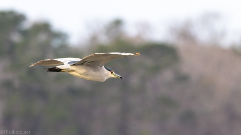 Black-crowned Night Heron, Fly By - click to enlarge