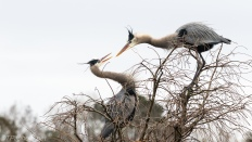 A Discussion, Great Blue heron - click to enlarge
