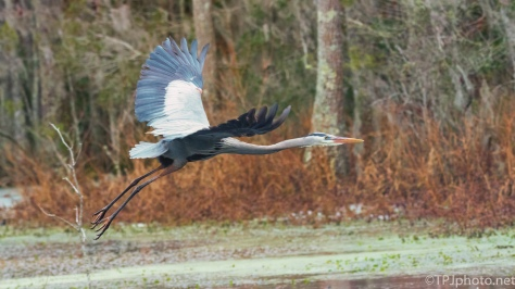Great Blue Heron Heading Deeper Into The Woods - click to enlarge