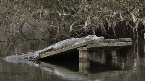 Never Heard Me, Alligator - click to enlarge