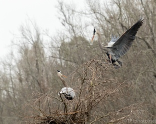 Great Blue Herons Taking Turns - click to enlarge