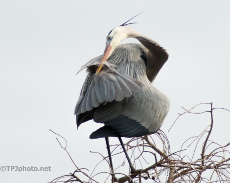 Great Blue Heron, Getting All Pretty - click to enlarge