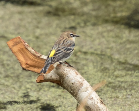 Yellow-rumped Warbler - click to enlarge