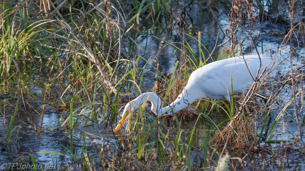 Grabbed A Small Fish, Great Egret - click to enlarge