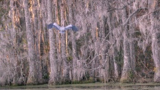 Disappearing Into The Swamp - click to enlarge