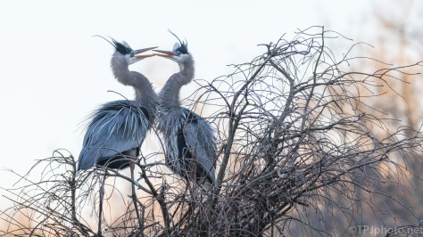 A Mated Pair Of Great Blue Herons - click to enlarge