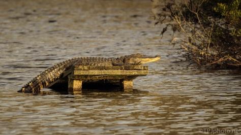Asleep Or Awake, Maybe Both, Alligator - click to enlarge