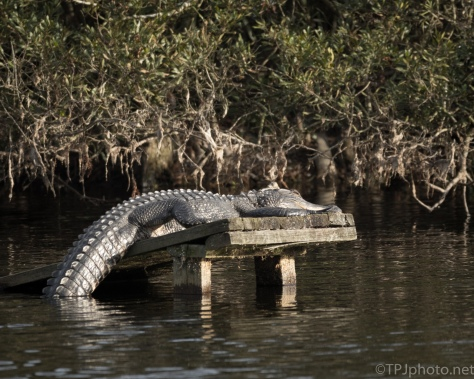 Last Alligator Seen - click to enlarge