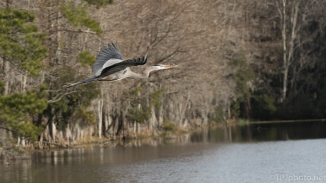 Industrious Great Blue Heron - click to enlarge