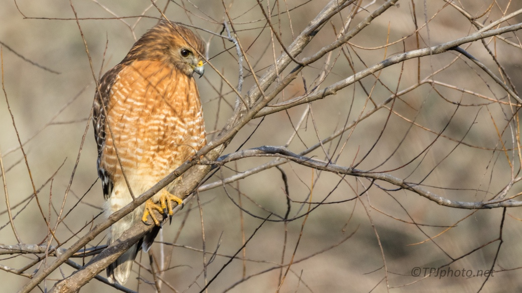 Red-shouldered Hawk, Sticks And All - click to enlarge