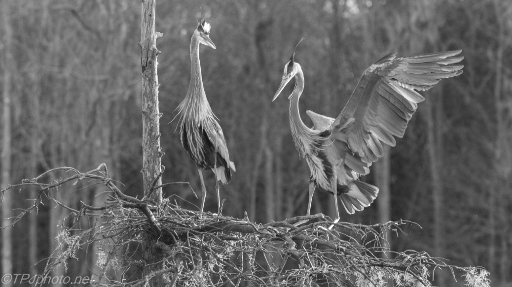 Heron Pair, Black And White - click to enlarge