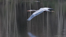 Slow And Elegant Fly By, Great Blue Heron - click to enlarge