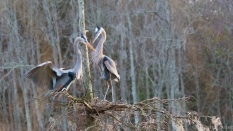 Herons, New Nest Activity - click to enlarge