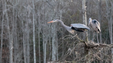 Jumping From The Nest, Great Blue Heron - click to enlarge