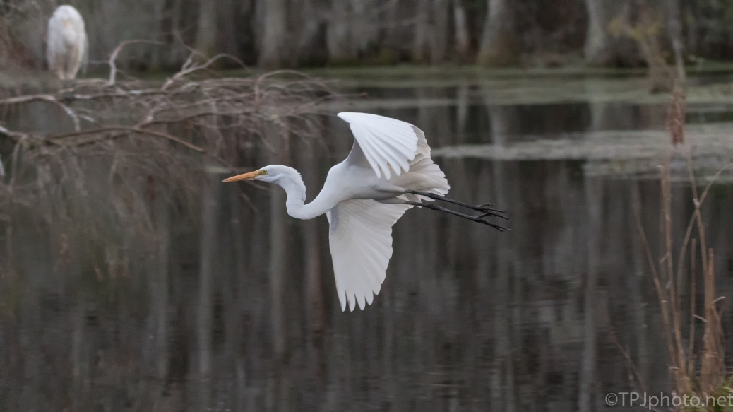 Great Egret Arriving In A Swamp For The Night - click to enlarge