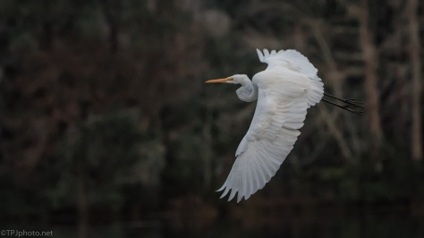 Great Egret After Dark - click to enlarge