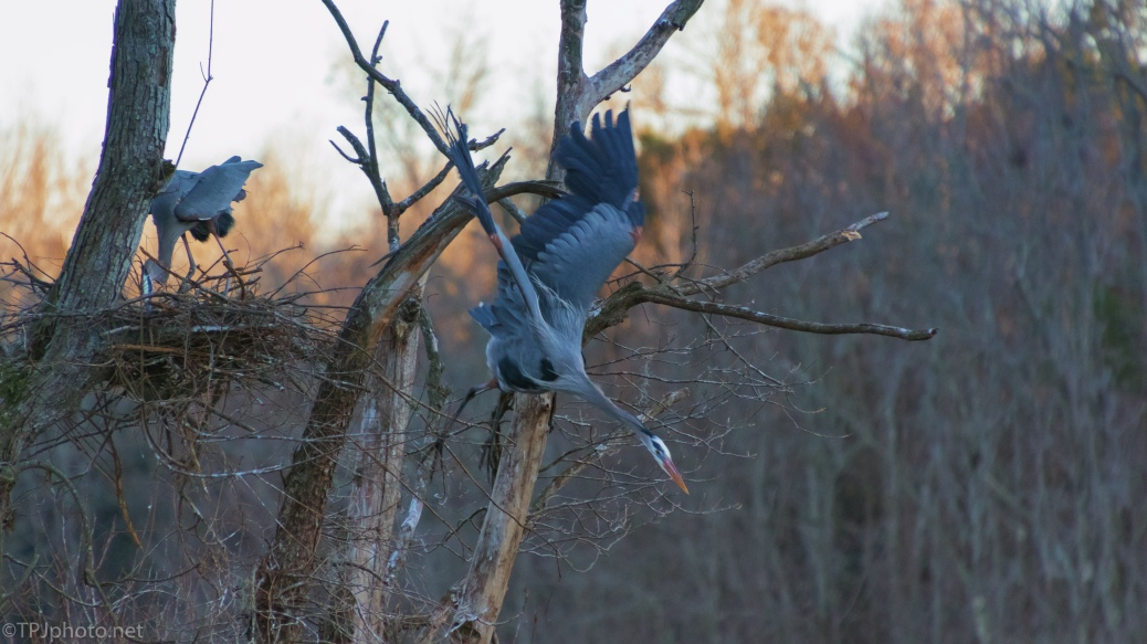 Taking Flight, Great Blue Heron - click to enlarge