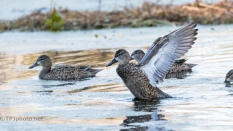 Blue-winged Teal, Female - click to enlarge