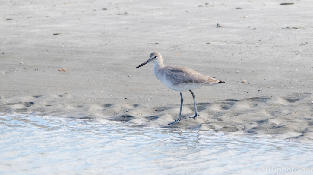 Willet On A Tidal Pool - click to enlarge