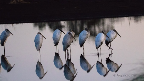 Wood Storks, First Thing In The Morning - click to enlarge